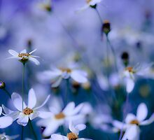 Daisies in the blue. by HelenaBrophy