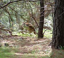 Keiser Park - South Australia - Kangaroos by Allen  Anderson
