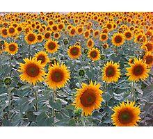 Sunflowers in Sarkoy,TURKEY. Photographic Print