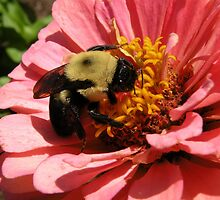 'Bumble Bee and Zinnea' by Scott Bricker