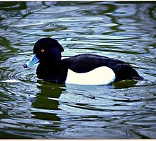 Little Tufted Duck by Morag Bates
