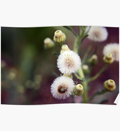 Cotton Fluff Poster