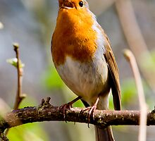 Robin in full song by Dave  Knowles