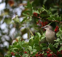 Northern Mockingbird II by D R Moore