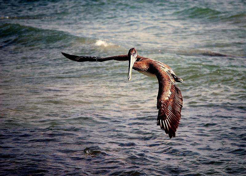 Pelican gets tricked.. by LjMaxx