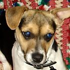 Rex the Jack Russell Terrier 2 by kristalmania