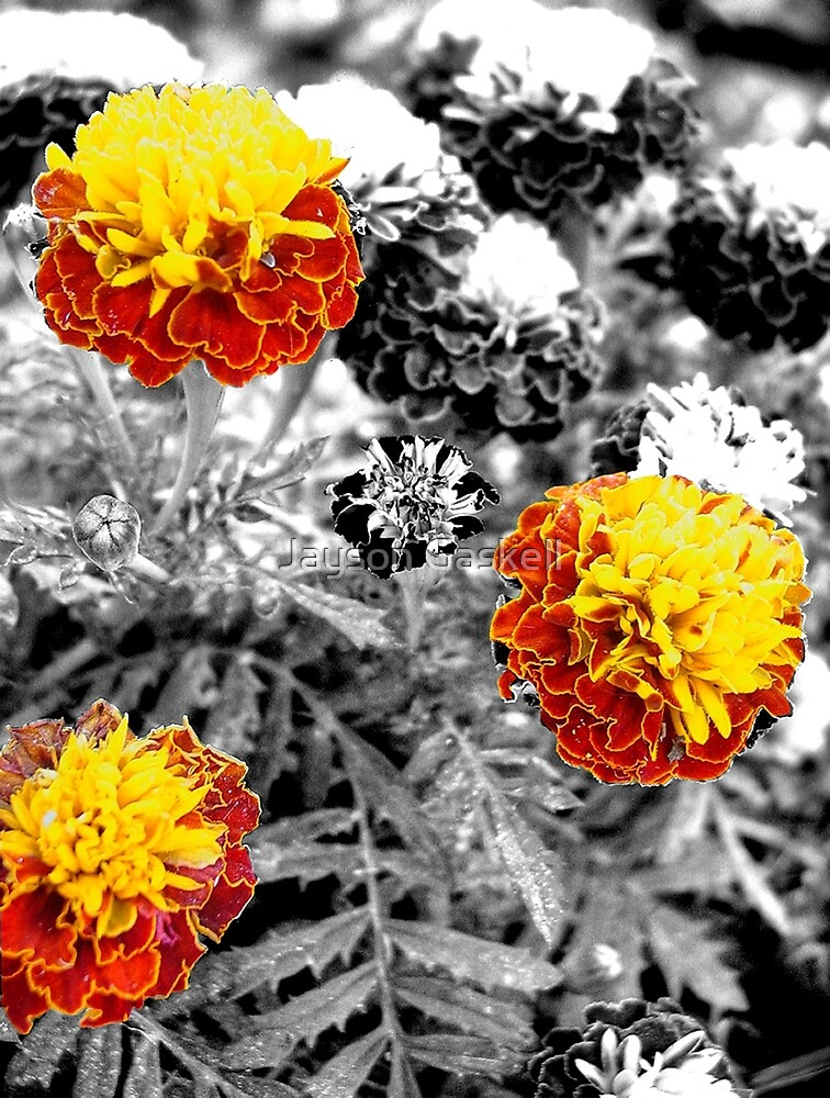 Marigolds by Jayson Gaskell