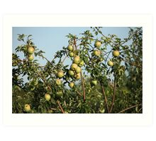 green apples on branches Art Print