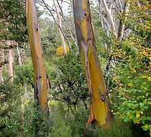 Alpine Yellow Gums,Wombat track,Cradle Mountain, Tasmania,Australia. by kaysharp