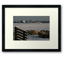 Digging deep. Those sheep! Framed Print
