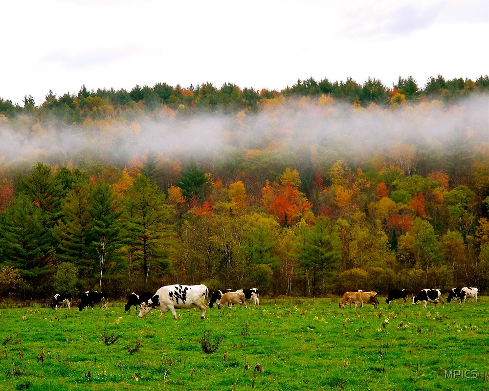 Fog Over Cows by MPICS