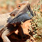 Central Bearded Dragon by Dilshara Hill