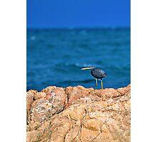 Eastern Reef Egret Dark Morph Photographic Print