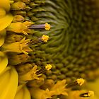 Sunflower macro by Coreycw