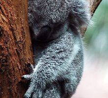 Koala - NSW by CasPhotography