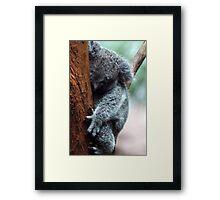 Koala - NSW Framed Print