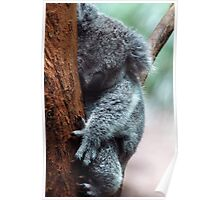 Koala - NSW Poster