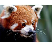 Curious Red Panda Photographic Print