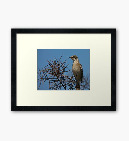 Galapagos Mockingbird Framed Print