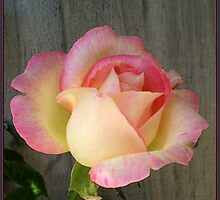 Pink Laced Cream Rose by Louise Page