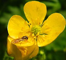 Buttercup with Hoverfly by LADeville