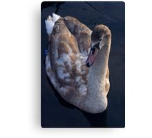 Young Swan V Canvas Print