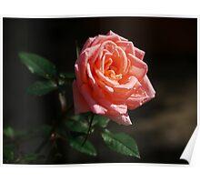 Rose Dew Poster