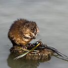 Muskrat by Sally Winter