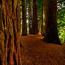 Redwood Grove. by Stephen Johns