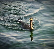 The cormorant  invites me to swim by rasim1
