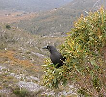 Currawong Surveying it's Territory,Cradle Mountain,Tasmania,Australia. by kaysharp