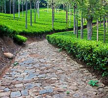 Tea Plantation Road by Nickolay Stanev