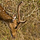 Chital Stag by Nickolay Stanev