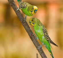 Budgies by Henry  Cook