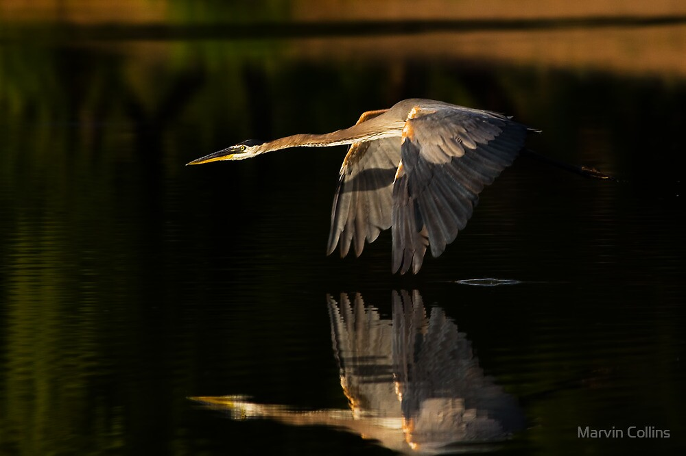0617091 Great Blue Heron by Marvin Collins
