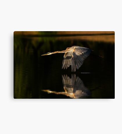 0617091 Great Blue Heron Canvas Print