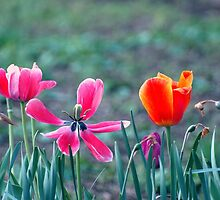 Tulips by Helena Haidner