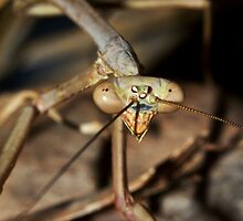 Mantis by Jason Asher