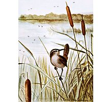 Long Billed Marsh Wren Photographic Print