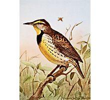 Meadowlark Bird Photographic Print
