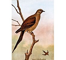Mourning Dove Vintage Illustration Photographic Print