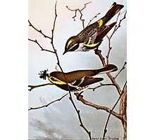 Myrtle and Black throated Warblers Photographic Print
