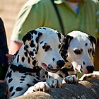 Dalmatian dog by Dave  Knowles