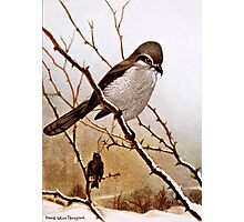 Northern Shrike Bird Photographic Print