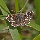 Grizzled Skipper butterfly by Hugh J Griffiths