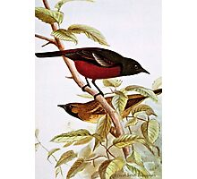 Orchard Oriole Vintage Drawing Photographic Print