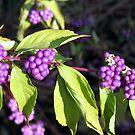 Ink Berries by Sviatlana