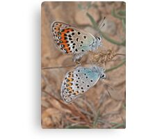 Mating Idas Blue butterflies Metal Print