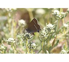 Blue-spot Hairstreak butterfly Photographic Print