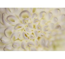 Flower: Ping Pong Chrysanthemums Photographic Print
